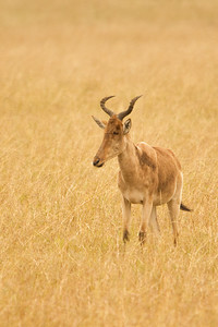 Hartebeest, Kenya