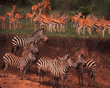 Zebras confer on river migration crossing while Thompson gazelle look on