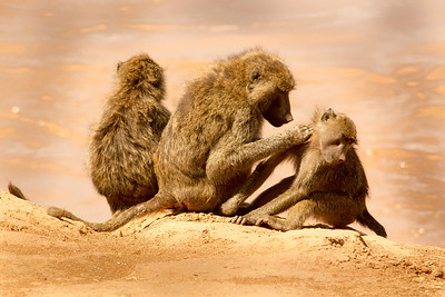 Baboon family grooming by the river
