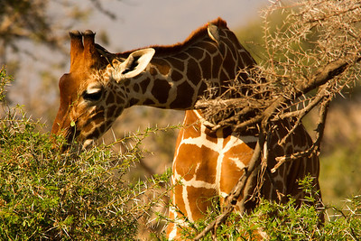 Giraffe browsing the acacia.  Their tongue evolved to relish thorns.
