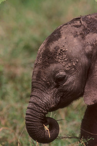 Juvenile African elephant cools in mud and eats