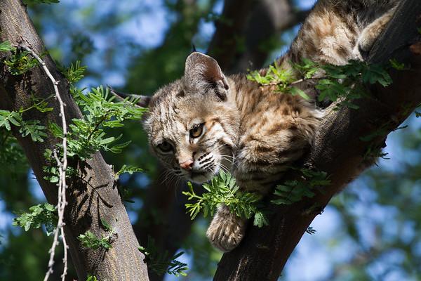 Perched Bobcat