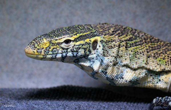 Sweet Lizard