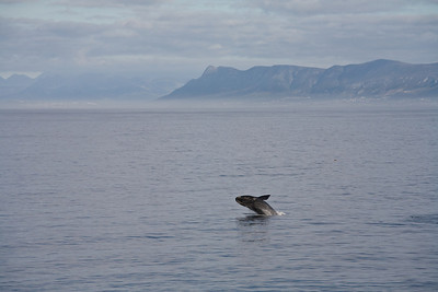 Southern Right Whale, de Kelders, South Africa