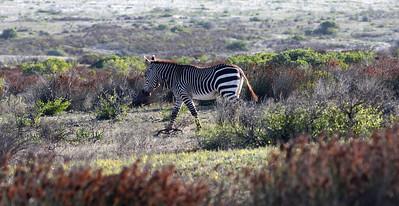 Cape Zebra, de Hoop reserve, Cape Province