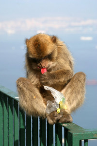 Barbary Ape, Rock of Gibraltar
