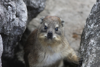 Rock hyrax, Betty's Bay, Cape Province