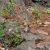 September 6, 2009.  Golden-mantled ground squirrel at Rogue River National Forest, Oregon.