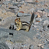 August 21, 2009.  Golden-mantled ground squirrel at Crater Lake National Park, Oregon.