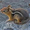 August 21, 2009.  Golden-mantled ground squirrel at Crater Lake National Park,OR.