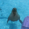 June 20, 2009.  Sea lion at Six Flags Marine World, Vallejo, CA.
