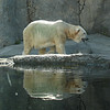 July 30, 2009.  Polar Bear at the Oregon Zoo in Portland, OR.