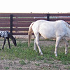 April 25, 2009 - Appaloosa mare and 1 day old foal at Rush Ranch outside Fairfield, CA.