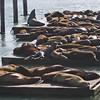 May 9, 2009 - Sea Lions at Pier 39 in San Francisco, CA.