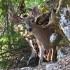 July 15, 2010.  Black-tailed deer at Oregon Caves NM, Oregon.