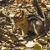 September 12, 2010 - Golden-mantled ground squirrel at Crater Lake NP, Oregon.