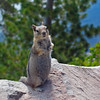 September 12, 2010 - Golden-mantled ground squirrel at Crater Lake NP, Oregon.