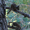 July 15, 2010.  Chipmunks at Oregon Caves NM, Oregon.