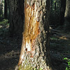 July 24, 2010.  Black bear scratches on a dead tree at Oregon Caves NM, NPS, Oregon.
