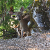 July 15, 2010.  Black-tailed deer at Oregon Caves NM, Oregon.