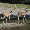 August 3, 2012 - Mule deer along Manzanita Creek, Lassen Volcanic National Park, California
