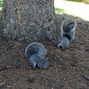 May 11, 2012 - Grey squirrels at Southern Oregon University, Ashland, Oregon