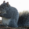 May 11, 2012 - Grey squirrel at Southern Oregon University, Ashland, Oregon