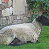 June 24, 2012 - Sheep at Castello di Amorosa, Calistoga, CA.