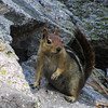 June 26, 2012 - Golden-mantled ground squirrel along the trail to Crags Lake, Lassen Volcanic National Park, California