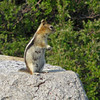 July 13, 2012 - Golden-mantled ground squirrel at Crater Lake National Park, Oregon