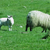 June 19, 2013.  Sheep in northern England.