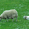 June 18, 2013.  Sheep in the Highlands, Scotland.