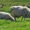 June 19, 2013.  Sheep at Housestead Fort Heritage Site, England.