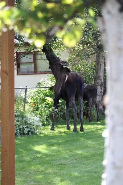 Mother moose and calf in my front yard