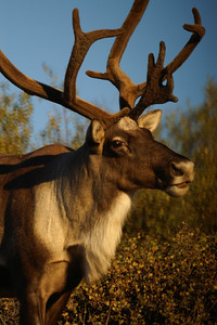 Caribou up close, in Denali National Park