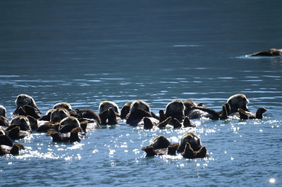 Raft of sea otters in Prince William Sound