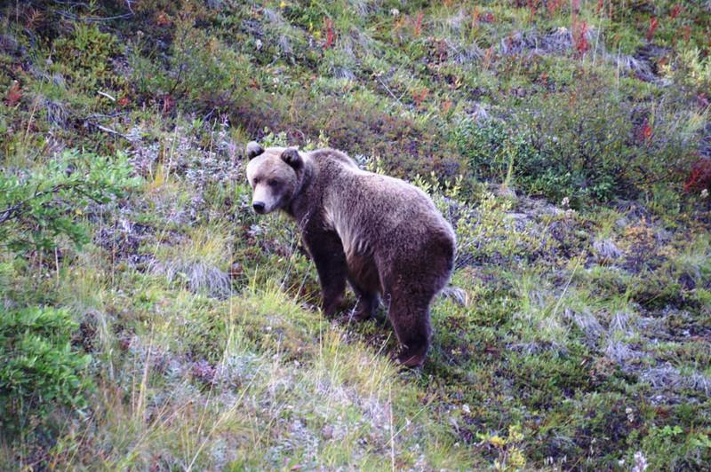 Brown bear in Denali National Park