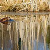 Beaver <br /> <br /> Beaver swimming through the water.