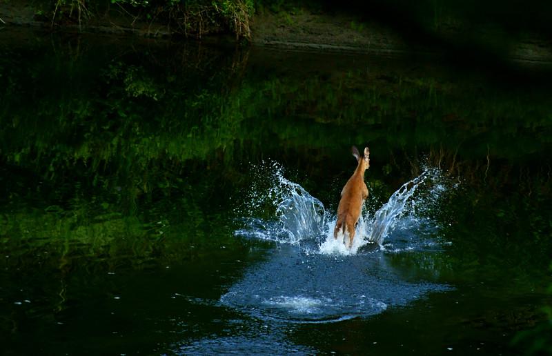 Doe<br /> <br /> Doe splashing through stream.