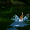 Doe<br /> <br /> Doe splashing through stream.
