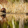 Beaver<br /> <br /> Beaver sitting at the edge of a swamp.
