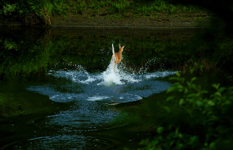 Doe<br /> <br /> Doe leaping across stream.