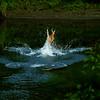 Doe<br /> <br /> Doe leaping across stream.