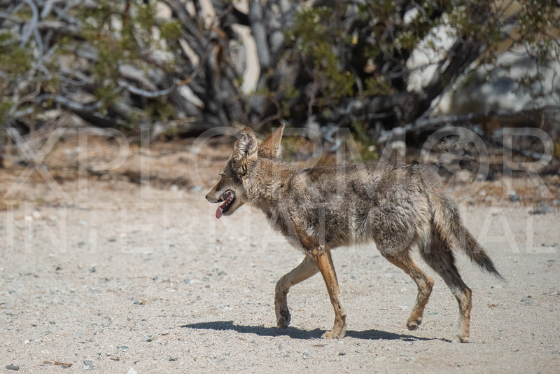 Mearns Coyote