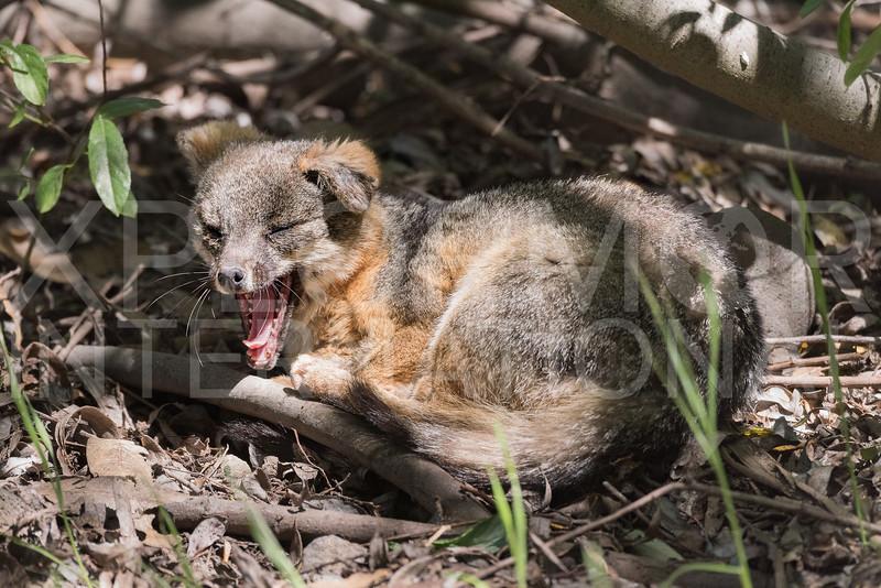 Island Fox