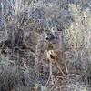 California Mule Deer in the Chaparral