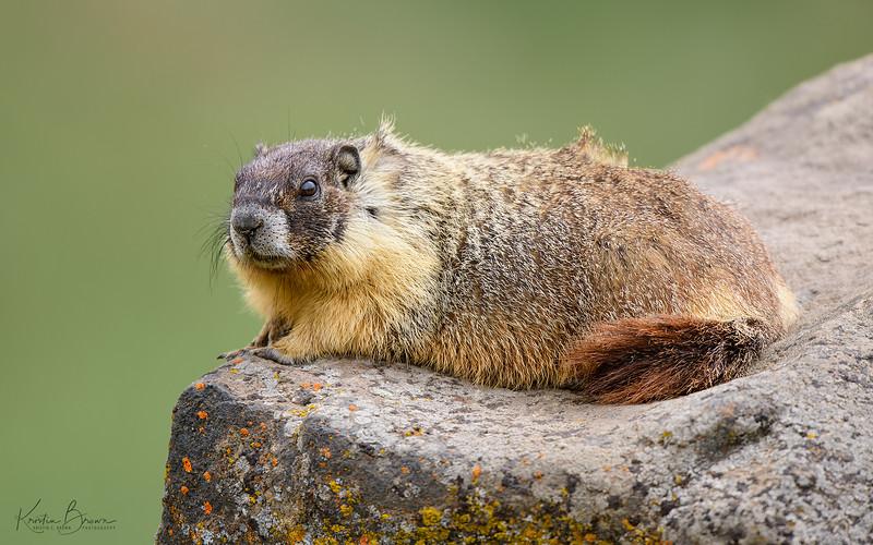 Yellow-bellied Marmot on Lichen Rock