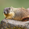 Yellow-bellied Marmot on Lichen Rock