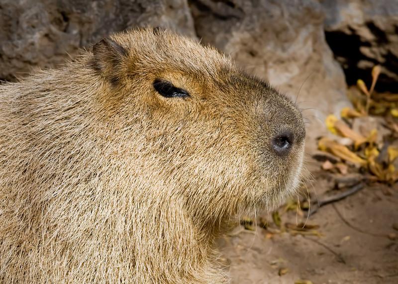 Capybara (zoo)