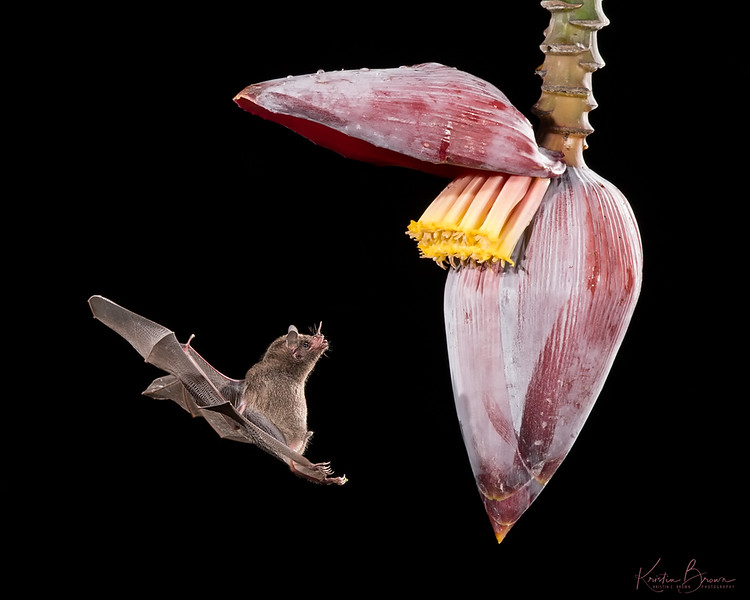 Nectar Eating  Bat at Banana Flower